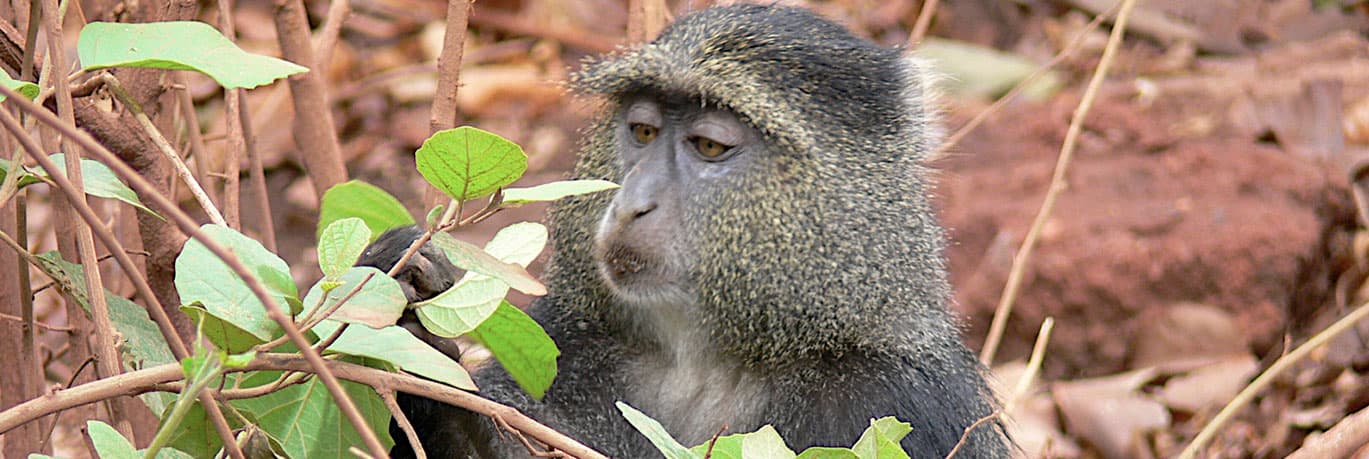 Wild Monkeys at Gombe National Park